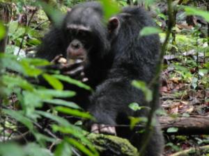 Ein Schimpanse beim Verspeisen einer Nauclea-Frucht. © Ammie Kalan