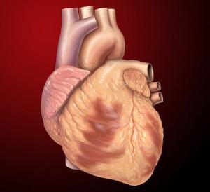 Menschliches Herz. © Patrick J. Lynch. CC BY 2.5