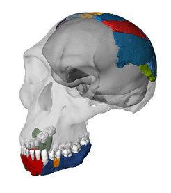 Rekonstruierter Schädel eines Homo habilis basierend auf den Knochen des Fossils OH 7 aus der Olduvai-Schlucht in Tansania. Die transparenten Teile basieren auf dem Schädel des Fossils KNM-ER 1813 aus Kenia, der am Computer so verändert wurde, dass er zum Fossil OH 7 passt. © Philipp Gunz, Simon Neubauer & Fred Spoor