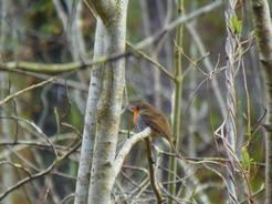 Das Rotkehlchen gehört zu den Vogelarten, die von der nächtlichen Beleuchtung am stärksten beeinflusst werden. © MPI für Ornithologie