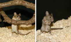Die beiden Unterarten der Hausmaus in Europa: Mus musculus musculus aus Österreich (links) und Mus musculus domesticus aus Deutschland (rechts). © MPI f. Evolutionsbiologie / Ch. Pfeifle