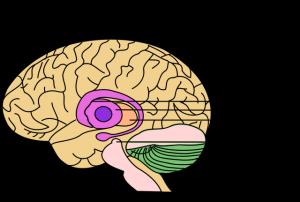 Der Verlust an Dopamin-produzierenden Nervenzellen in der Substantia nigra führt zu den Kardinalsymptomen der Parkinson-Krankheit – Bewegungsarmut, Starre und Zittern. Entzündungszellen der angeborenen Immunabwehr tragen zum Tod dieser Neuronen bei. ©  public domain.
