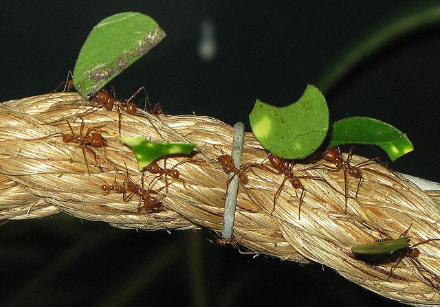 Blattschneiderameisen der Art Atta cephalotes. © Adrian Pingstone. gemeinfrei.