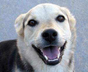 Mit dem tiefen Blick in unsere Augen hat der Hund unsere Herzen erobert. © Rennett Stowe. CC BY 2.0.