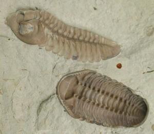 Im Zuge des Massensterbens im Perm verschwanden auch die Trilobiten aus den Meeren. © Moussa Direct. CC BY-SA 3.0.