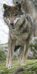 Wölfe vermeiden den direkten Blickkontakt mit dem menschen eher. © Juan José González Vega. CC BY-SA 3.0.