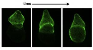 Die äußere Herzwand des Zebrafischherzens (grün) regeneriert sich nach einer Verletzung schnell. Wie eine Welle bedeckt sie binnen ein bis zwei Wochen das Herz von der Basis der einen Kammer bis zur Spitze der anderen. Wissenschaftler haben nun Eigenschaften dieser äußeren Herzwand - des Epikards - entschlüsselt, die dabei helfen könnten, die erstaunliche Regenerationsfähigkeit der Zebrafischherzen zu verstehen. ©  Jingli Cao.