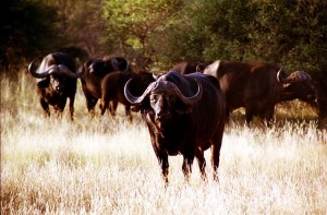 Afrikansicher Büffel. © Stefan Ehrbar. CC BY-SA 3.0.