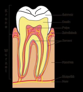 Aufbau eines Zahns. © public domain.