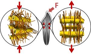 Biostruktur des Dentin: Tubuli und Netz von Kollagenfasern, in denen mineralische Nanopartikel eingebettet sind – angespannt links, entspannt rechts, Grafik: Jean-Baptiste Forien, © Charité – Universitätsmedizin Berlin
