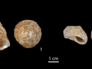 Muschelschalen von Phorcus turbinatus. Drauf- und Seitenansicht von 1) einem kompletten Exemplar und 2) einer Muschelschale, deren oberer Teil von Menschen des Jungpaläolithikums abgeschnitten wurde, um das Fleisch besser entnehmen zu können (Maßstabsleiste 1 Zentimeter). © M. Bosch