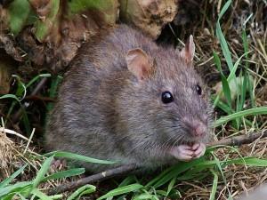 Ratte. © Reg Mckenna. CC BY 2.0.