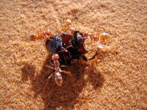 Silberameisen überwältigen einen Käfer. © Bjørn Christian Tørrissen. CC BY-SA 3.0