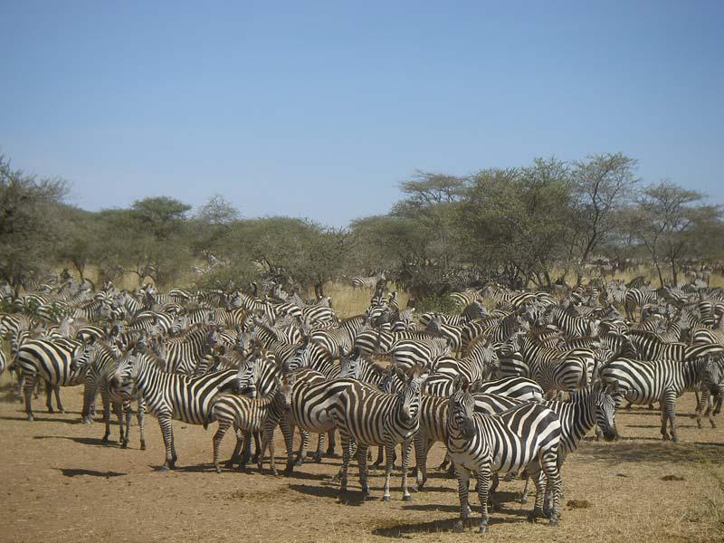 In der Savanne der Serengeti kommen große Herden von Zebras vor. © Peter Steen Leidersdorff. CC BY-SA 3.0.