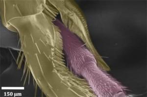 Rasterelektronenmikroskopische Aufnahme der Einkerbungen am Tarsus, dem Fußbereich, des Ameisenbeins. ©  Alexander Hackmann. CC BY 4.0.