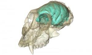 Dreidimensionales Computermodell des winzigen, aber komplexen Gehirns von Victoriapithecus, einem Altweltaffen, der vor 15 Millionen Jahren lebte. © MPI f. evolutionäre Anthropologie/ F. Spoor