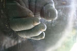 Die Hand eines Gorillas ist unserer Hand verblüffend ähnlich. ©  David Ball. CC BY-SA 3.0