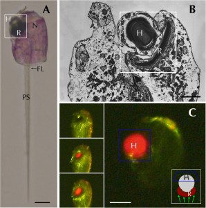 Erythropsidinium spp. und seine subzelluläre Struktur des Augenpunktes Ocelloid.  (A) Light micrographs (LM) of Erythropsidinium spp. H = hyalosome (crystallin body), R = retinal body, N = nucleus, FL = flagella, PS = piston. (B) Transmission electron micrographs (TEM) of ocelloid. (C) The refractile nature of the hyalosome under fluorescent microscopy. Bars: 20 μm (A, C), 10μm (B). The ocelloid is located at the left side of a cell seen in ventral view according to the orientation proposed by Kofoid and Swezy[12] (Fig. 1A). The nucleus was ellipsoidal and at the opposite side of ocelloid, in the anterior of the cell (Fig. 1B). These indices are consistent with the taxonomic criteria of the type specimen that was identified as Erythropsidinium agile. From the serial pictures of autofluorescence in the retinal body (Fig. 1C), lens-effect of the hyalosome can be observed. The front image of the retinal body is larger than side view. © Hayakawa S, Takaku Y, Hwang JS, Horiguchi T, Suga H, Gehring W, et al. (2015) Function and Evolutionary Origin of Unicellular Camera-Type Eye Structure. PLoS ONE 10(3): e0118415. doi:10.1371/journal.pone.0118415