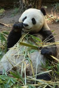 Große Pandas kauen den ganzen Tag gemütlich ihren Bambus.Sein Energieverbauch ist fast so niedrig wie der des... © Matthew Field. CC BY-SA 3.0