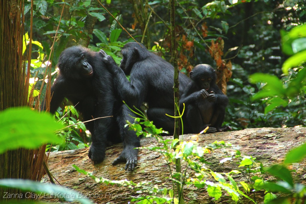 Bonobofamilie © Zanna Clay/Lui Kotale Bonobo Project