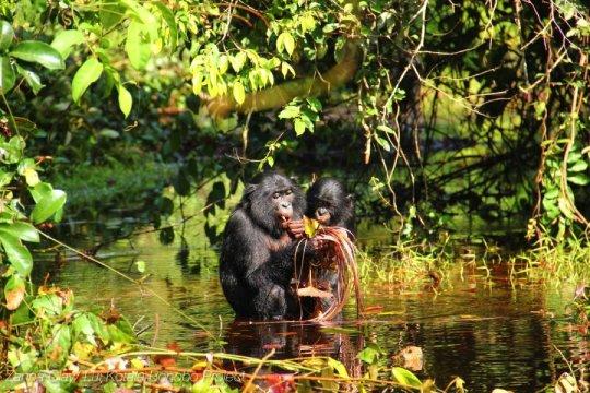 © Zanna Clay/Lui Kotale Bonobo Project.