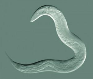 Bei C. elegans wird der Alterungsprozess eingeleitet sobald die Tiere geschlechtsreif sind. © Bob Goldstein. CC BY-SA 3.0.