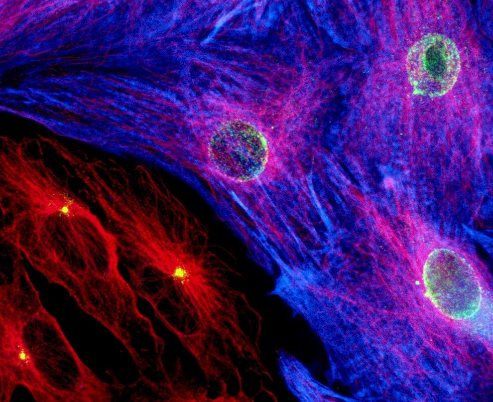 Herzmuskelzellen © David C. Zebrowski, Felix B. Engel