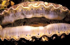 Diese Kammuschel verfügt über kleine Ocellen an ihrem Mantelrand. Im Gegesatz zu dem meisten Muscheln besitzt sie immerhin ein etwas komplexeres Nervensystem um sich durch Schwimmen fortbewegen zu können. Viele Muscheln haben jedoch im Laufe ihrer Evolution irh Gehrin zurückgebildet, das sie es zum Filtern von im Meer vorbeischimmenden Planktons nicht mehr brauchten. © public domain.
