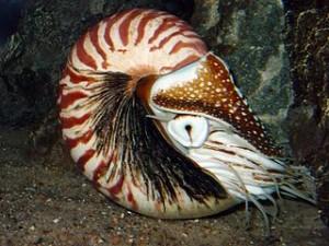 Kopffüßer gehören zu den ältesten intelligenten Lebewesen der Erde. Seit 400 Millionen Jahren durchstreifen sie, wie dieser Natilus, unsere Ozeane. ©  public domain.
