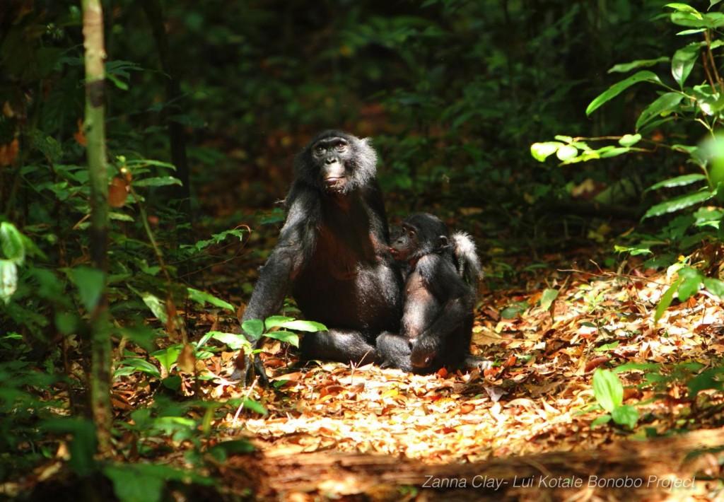 © Zanna Clay/Lui Kotale Bonobo Project