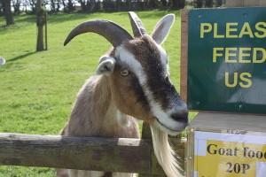 Weidende Tiere, wie Ziegen, besitznen vertiklae Pupillen, die ihnen einen besseren Rundumblick ermöglichen, um Raubtiere jederzeit zu erkennen. © public domain.