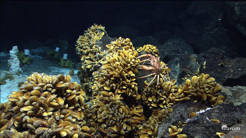 Bathymodiolus-Muscheln an der Menez Gwen-Hydrothermalquelle vor der Küste der Azoren, aufgenommen während der Schiffreise M82/3 des Forschungsschiffes Meteor. © Marum, University of Bremen