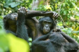 Soziales Miteinander bei den Bonobos: Die Tiere kommunizieren auch mittels Zeigegesten und Pantomime miteinander. © LuiKotale Bonobo Project/ Zana Clay