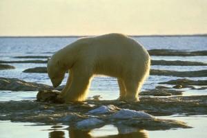 Eisbär beim Fressen. © public domain.