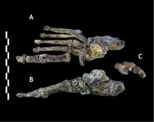 Fuß von Homo naledi, © Paul H. G. M. Dirks et al. CC BY 4.0.
