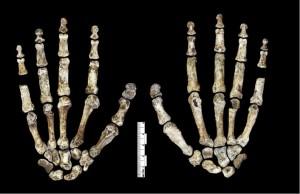Hand von Homo naledi. © Paul H. G. M. Dirks et al. CC BY 4.0.
