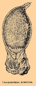 Heterodera schachtii ist zweigeschlechtlich; die beiden Geschlechter weisen eine unterschiedliche Gestalt (Sexualdimorphismus) auf. Die Männchen haben eine typische wurmform. Die Weibchen sind wie auf der Abbildung zitronenförmig und etwa 0,8 mm ĺang. ©  public domain.