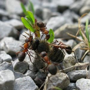 Rote Waldameisen mit Beute, einer toten Biene. © Michael Hanselmann. CC BY-SA 3.0.