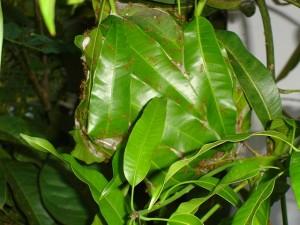 Weberameisennest in einem Mangobaum. © Premkudva. CC BY-SA 3.0.
