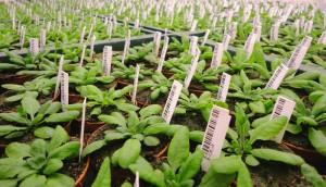 Die Forscher haben den Mechanismus gefunden, der bei der schottischen Ackerschmalwand eine um zwei Wochen frühere Blüte auslöst als bei ihren Verwandten in wärmeren Regionen. © U. Lutz/ TUM