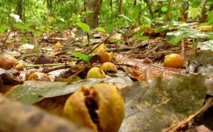 Feigen (Ficus) und Keimling, die von Palmenflughunden im Wald ausgebreitet wurden. © MPI f. Ornithologie/ J. Fahr