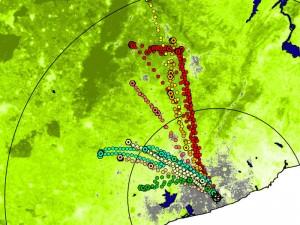 Individuelle Flugrouten der Palmenflughunde während der Trockenzeit (grau: Stadtgebiet von Accra, grün: Baumdichte). © MPI f. Ornithologie/ J. Fahr