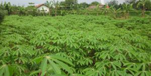 Maniok hat charakteristische mehrfingrige Blätter, die als Gemüse gegessen werden können. © Hervé Vanderschuren