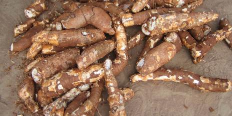 Die Wurzelknolle von Maniok enthält viel Stärke und gehört in vielen tropischen Ländern zu den Grundnahrungsmitteln. © Hervé Vanderschuren
