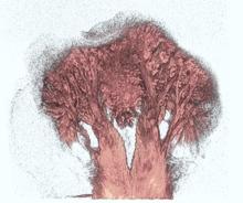 Mikro-CT-Aufnahme einer Froschzunge: Die Muskelfasern (rot eingefärbt) verteilen sich gleichmäßig über die gesamte Zungenoberfläche. © Kleinteich