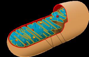 Mitochondrium. ©  public domain.
