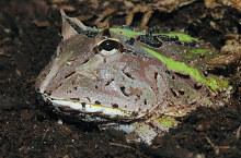 Der Schmuckhornfrosch (Ceratophrys cranwelli) gehört zu den Ansitzjägern, die sich in lockerer Erde eingraben und regungslos auf Beute lauern. © Kleinteich
