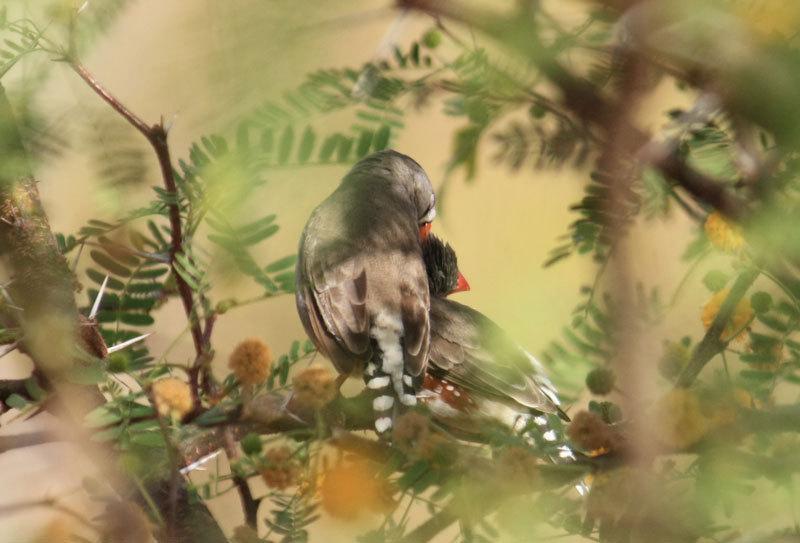 Legen Wert auf körperliche Nähe: Zebrafinken-Pärchen beim gegenseitigen Putzen. © MPI f. Ornithologie/ L. Gill
