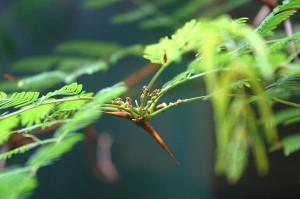 Ameisen auf einer Akazie. © Ryan Somma. CC BY-SA 2.0