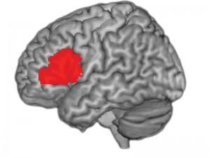 Das Broca-Areal im Gehirn ist schon lange als wesentlicher Teil des Sprachzentrums bekannt. Es spielt aber auch für die Verarbeitung von Musik eine wichtige Rolle. © MPI für Psycholinguistik